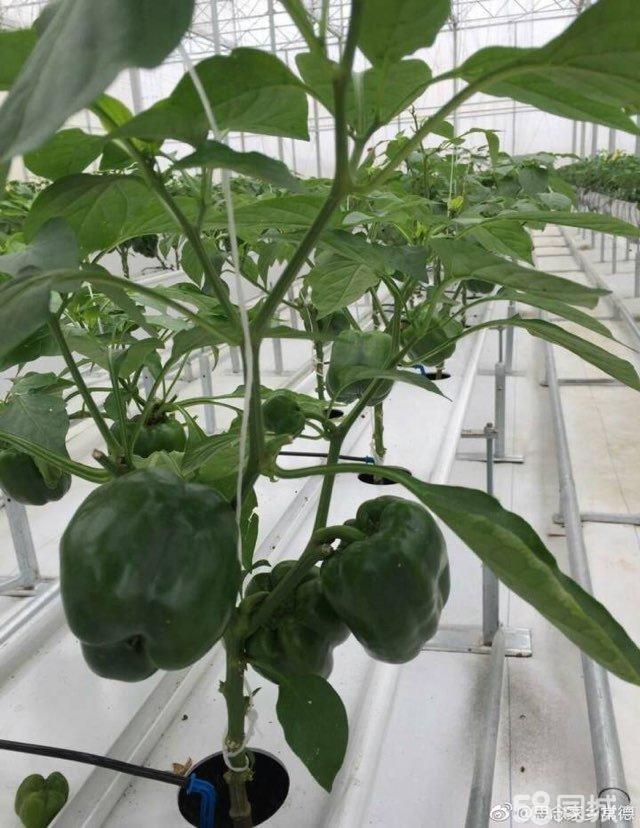 天然有机肥料,干鸡粪,