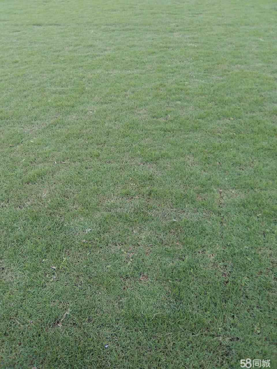 市政园林绿化草皮专业批发苗木种类齐全马尼拉草坪