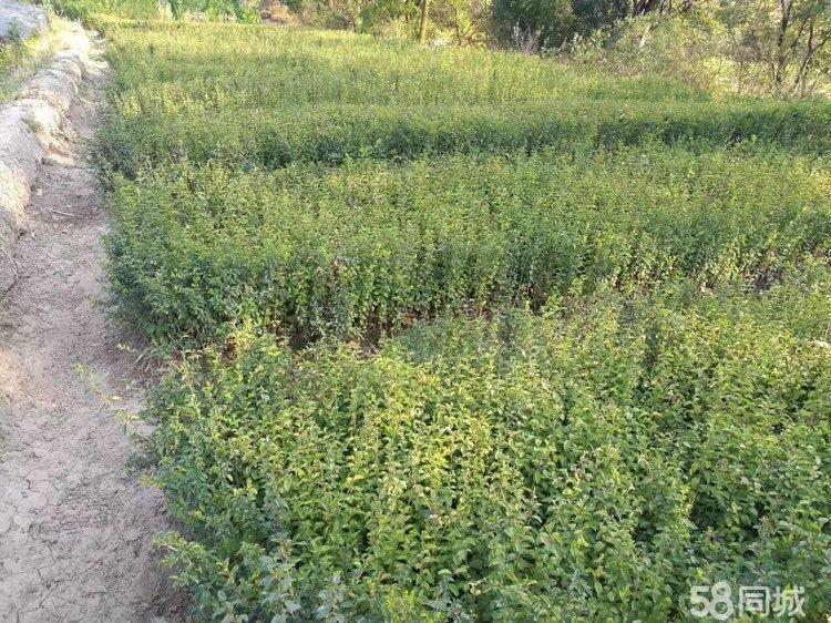 米易苗木绿化盆景绿植