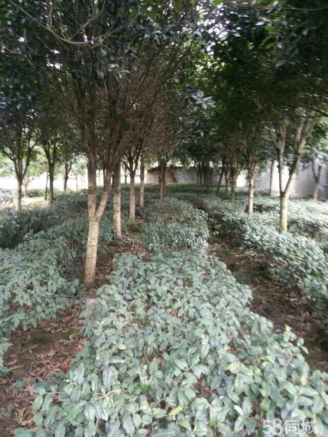 桂花树,大量出售