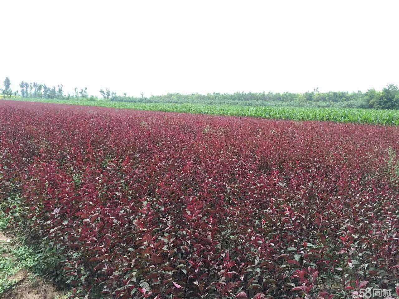 大量出售金叶榆和紫叶矮樱