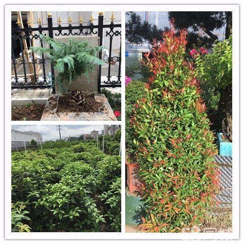 年底订购绿植盆栽年桔大优惠啦