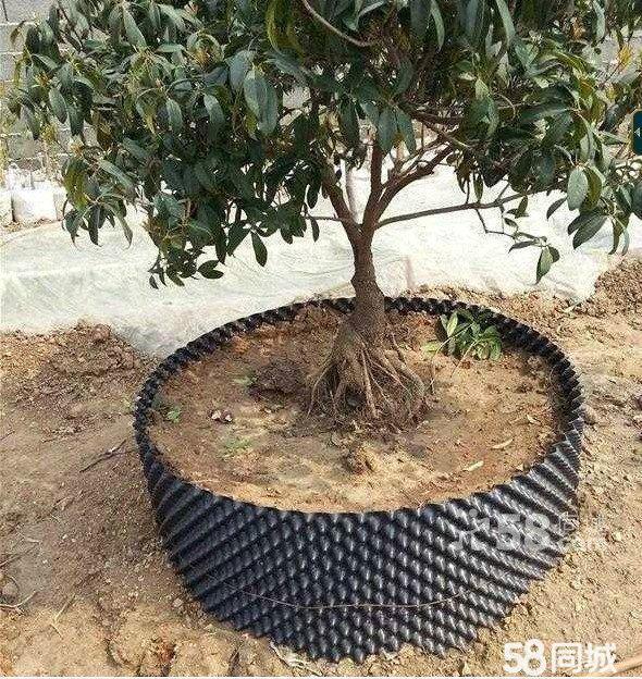 出售各种木苗园林园艺绿植木苗鲜花非洲茉莉 吊钟
